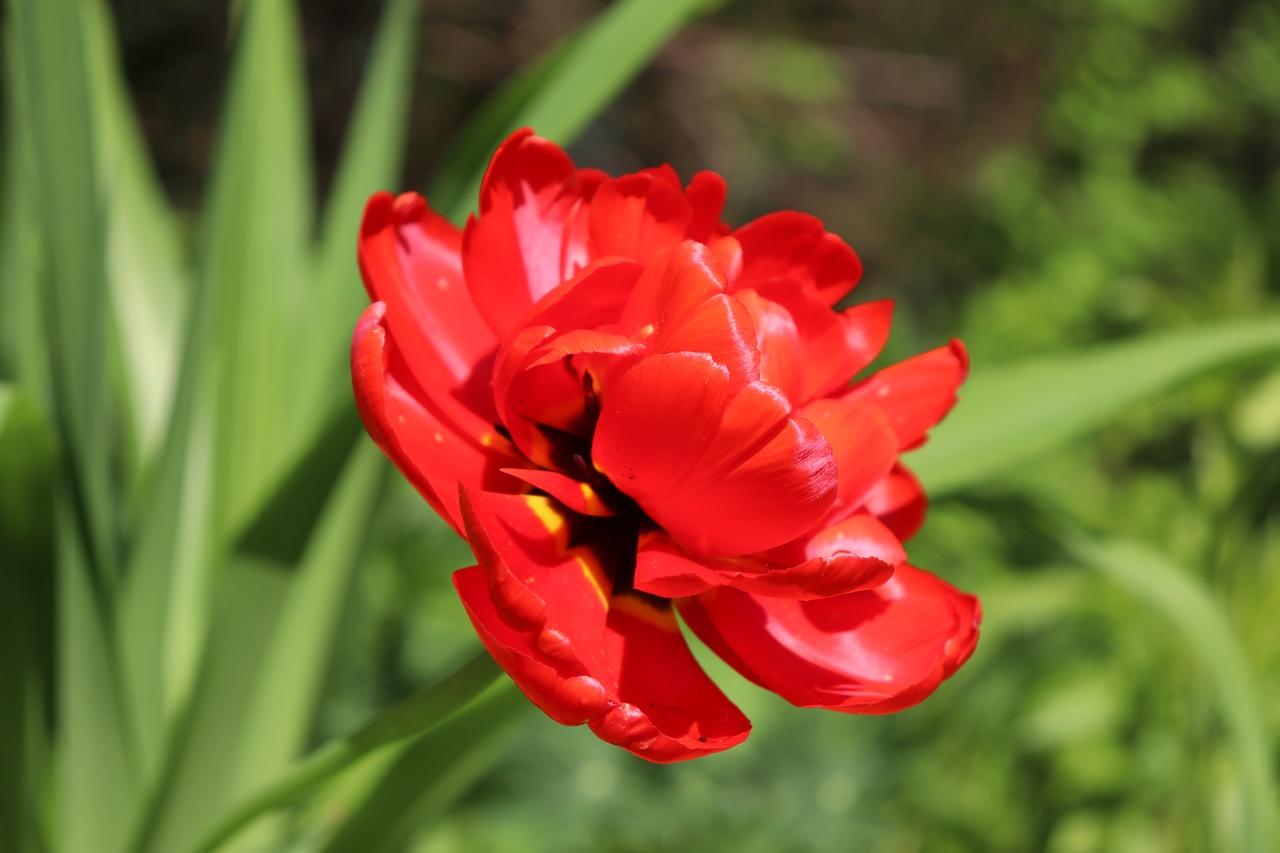 Ботанический сад ТвГУ приглашает на «Бал тюльпанов» онлайн