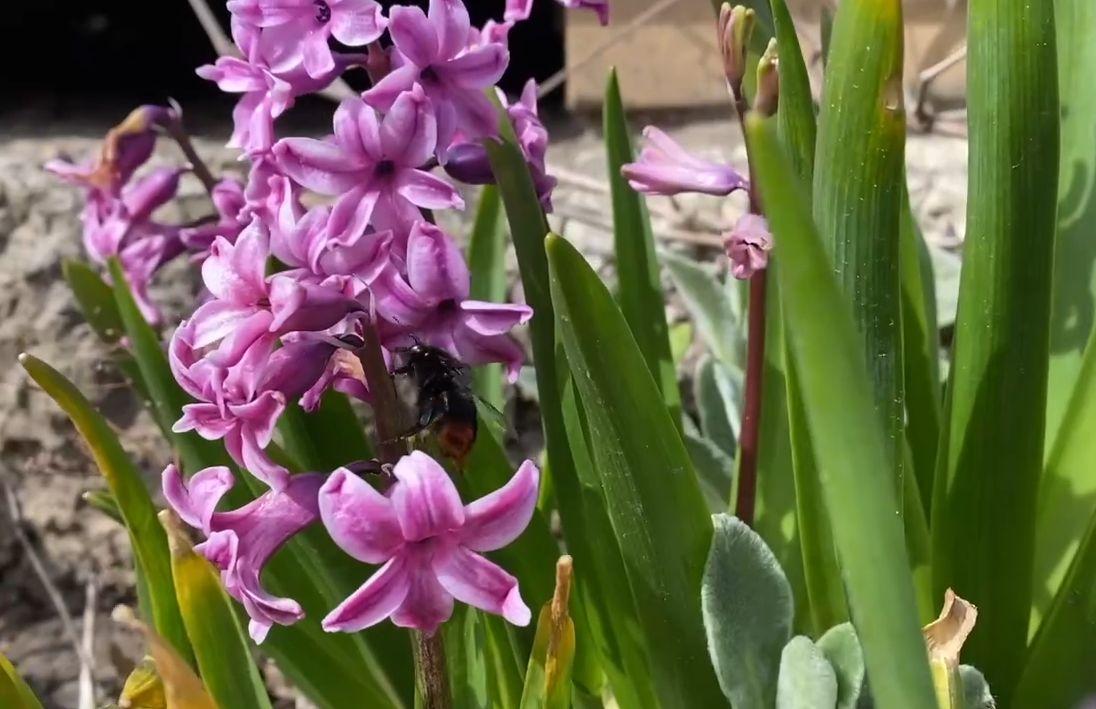 В Ботаническом саду ТвГУ распустились разноцветные гиацинты