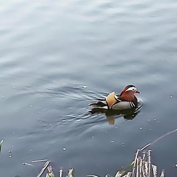 На озере в Тверской области поселилась утка-мандаринка