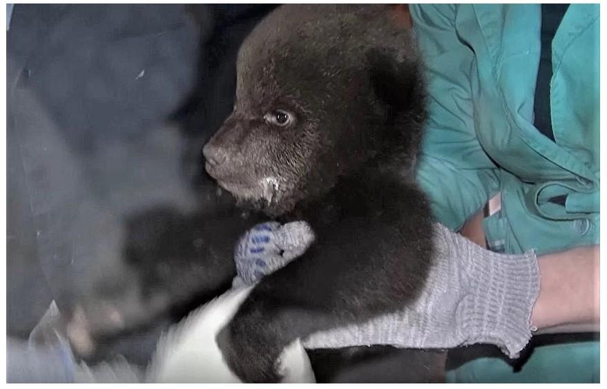В тверском Центре спасения медвежат рассказали, как забирали подопечных в Кирове. Видео