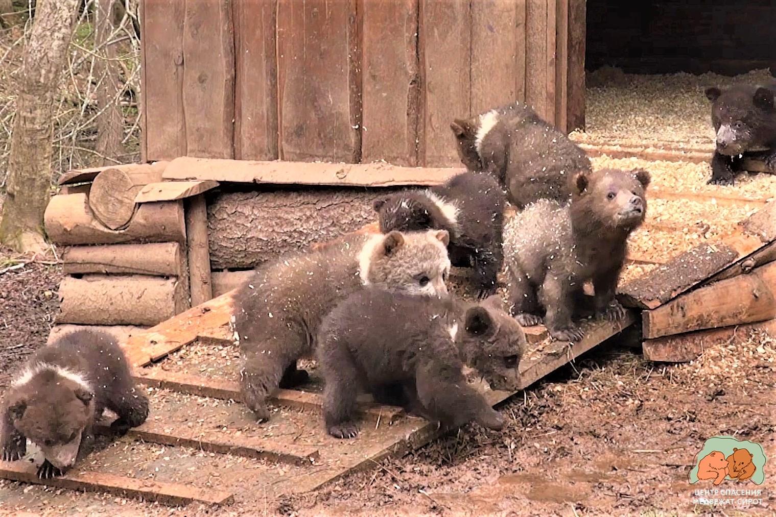В Тверской области маленькие медвежата познают мир