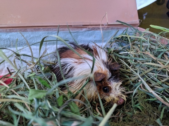 В Твери спасли выброшенную в ведре морскую свинку