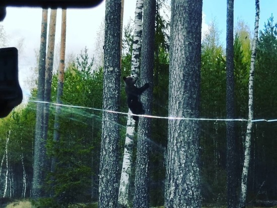 Жители Тверской области сняли на видео встречу с медвежонком