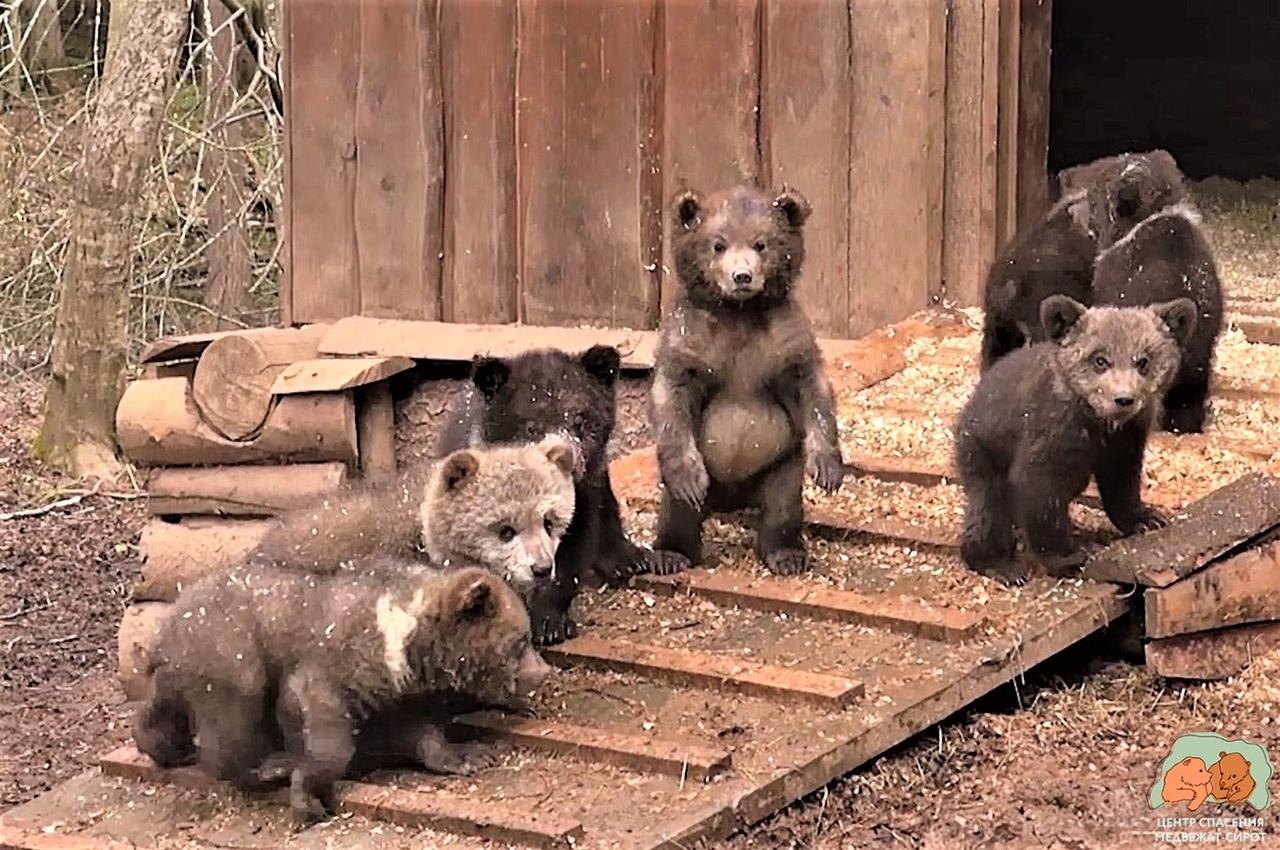 Торопецкие биологи показали, как медвежата-сироты осваивают лесной вольер