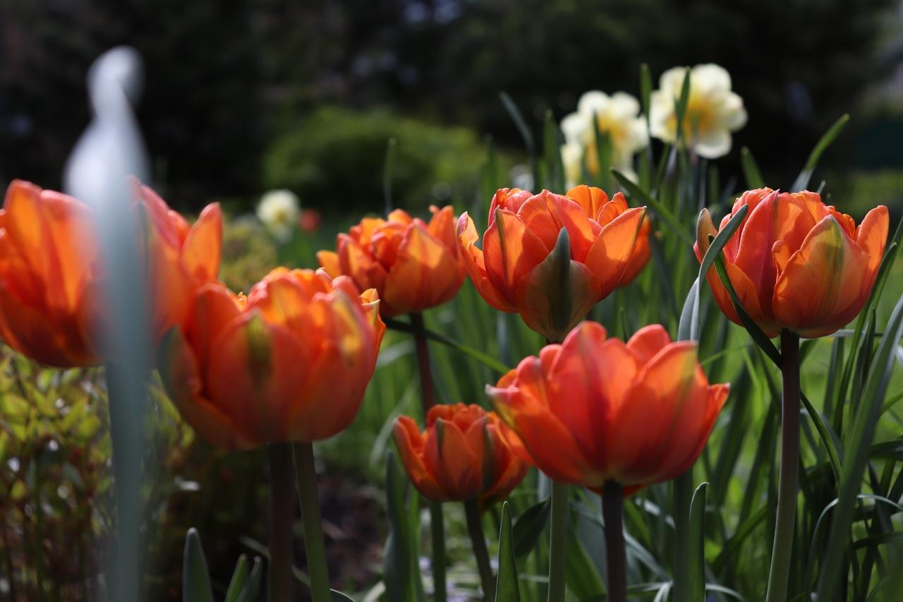 Жителей Твери приглашают полюбоваться цветущими тюльпанами онлайн