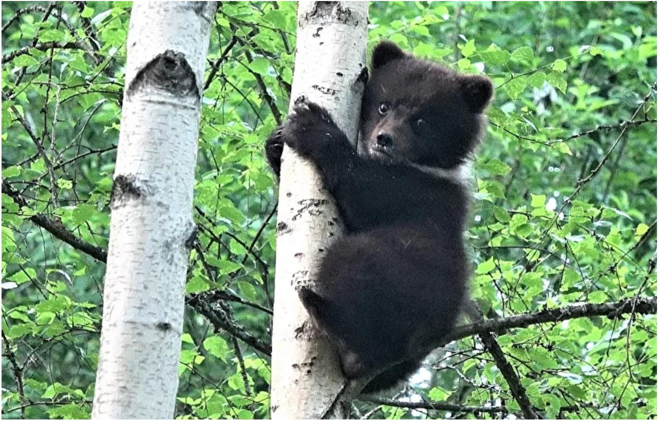 В Тверской области спасли медвежонка от верной гибели