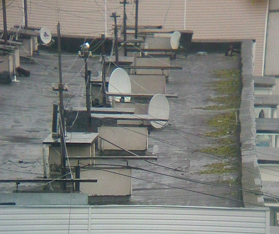 В Тверской области чайки стали гнездиться на крышах домов
