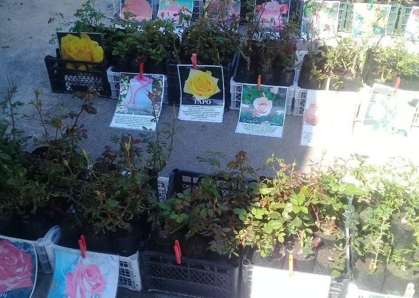 На рынке в Тверской области торговали саженцами роз без документов