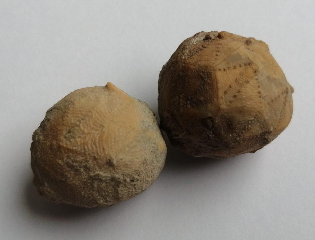 Житель Твери нашёл доисторических родственников морских лилий под Вышним Волочком