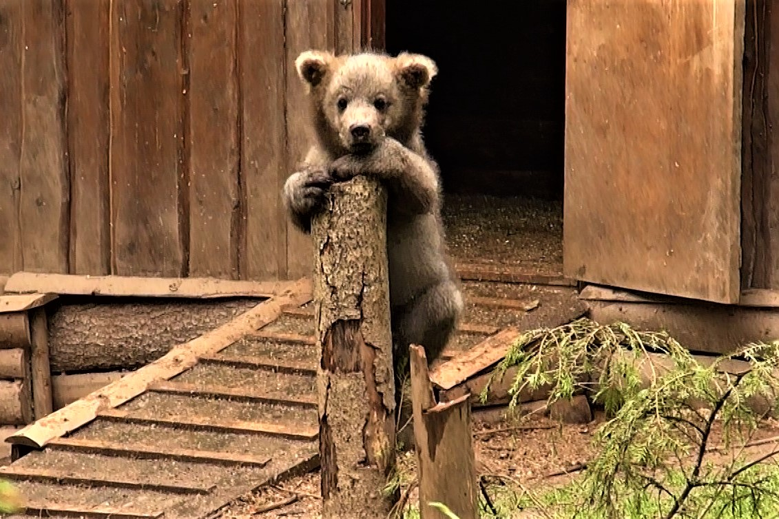 Биологи из Тверской области показали фотографии маленьких медвежат