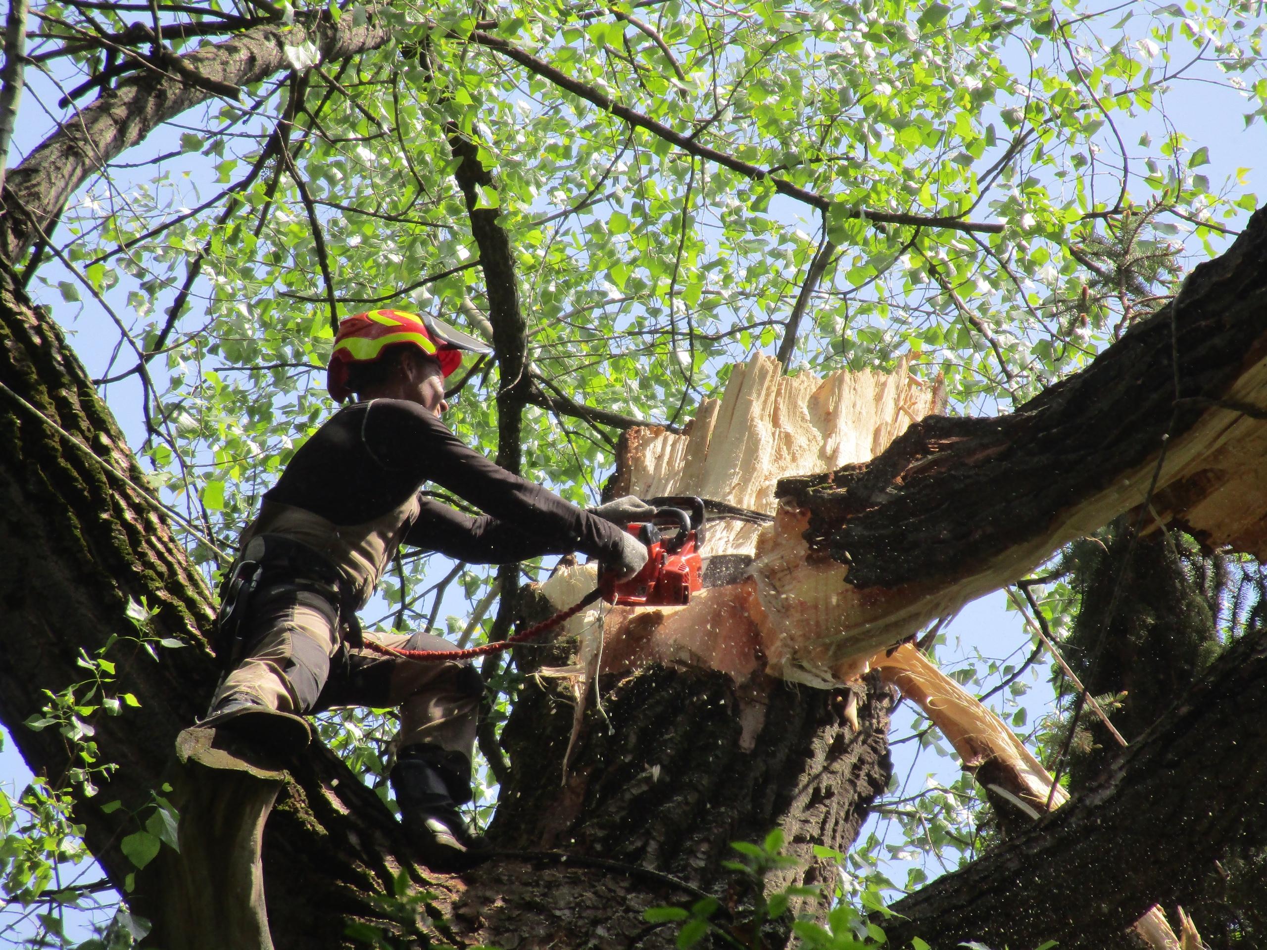 В тверском Ботаническом саду очищают кроны деревьев