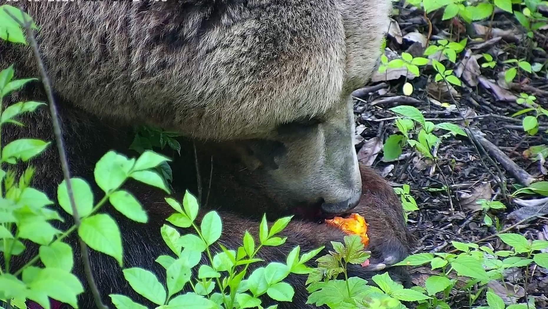 Тверской авиамедведь рассказал, почему любит есть морковь