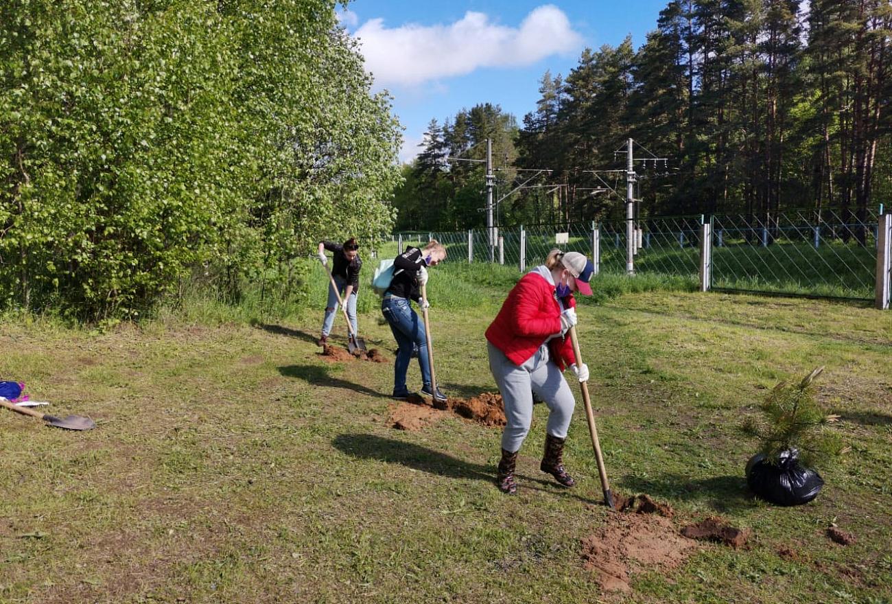 В Комсомольской роще в Твери высадили молодые сосны