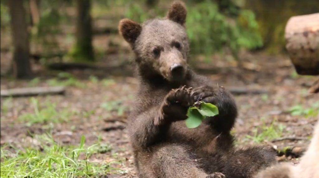 В тверском центре спасения медвежат-сирот записали на видео прогулку старшей группы