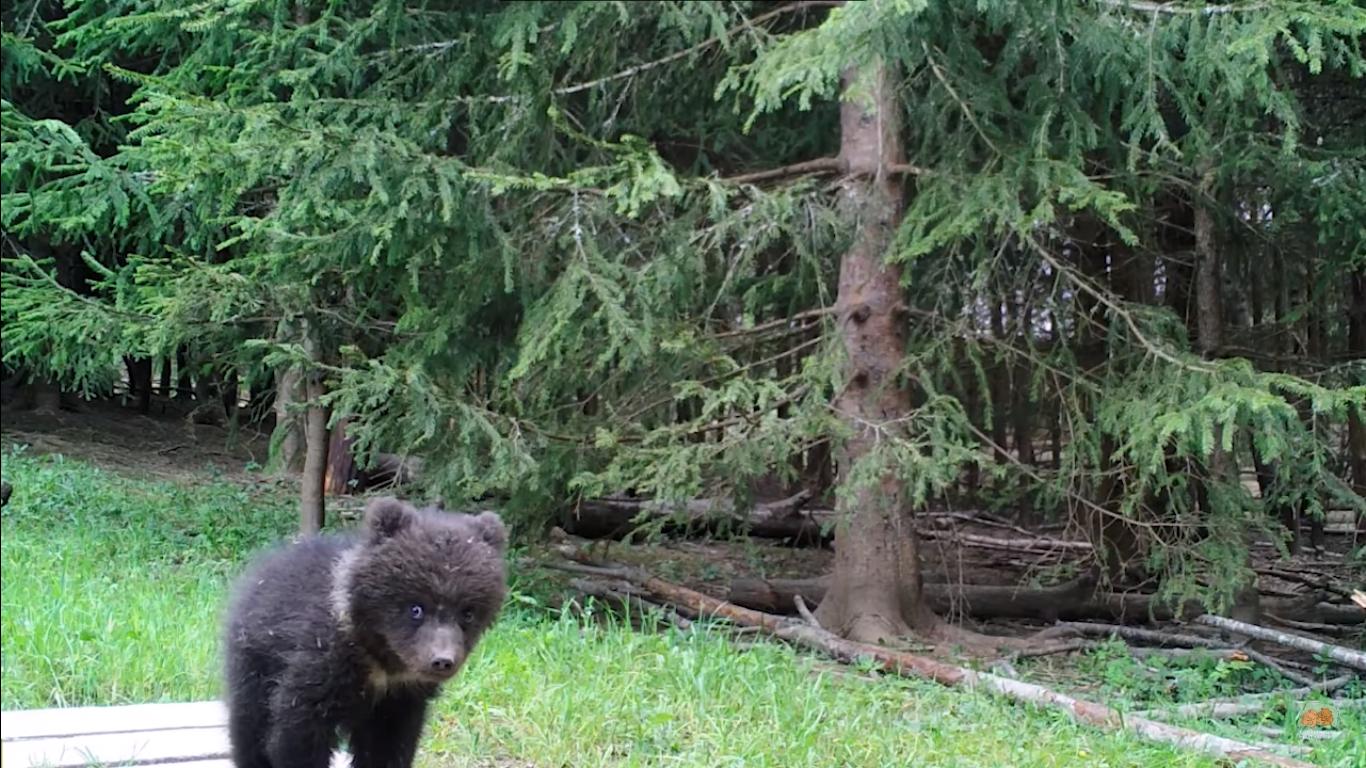 В тверском центре спасения медвежат - сирот появилась новенькая воспитанница