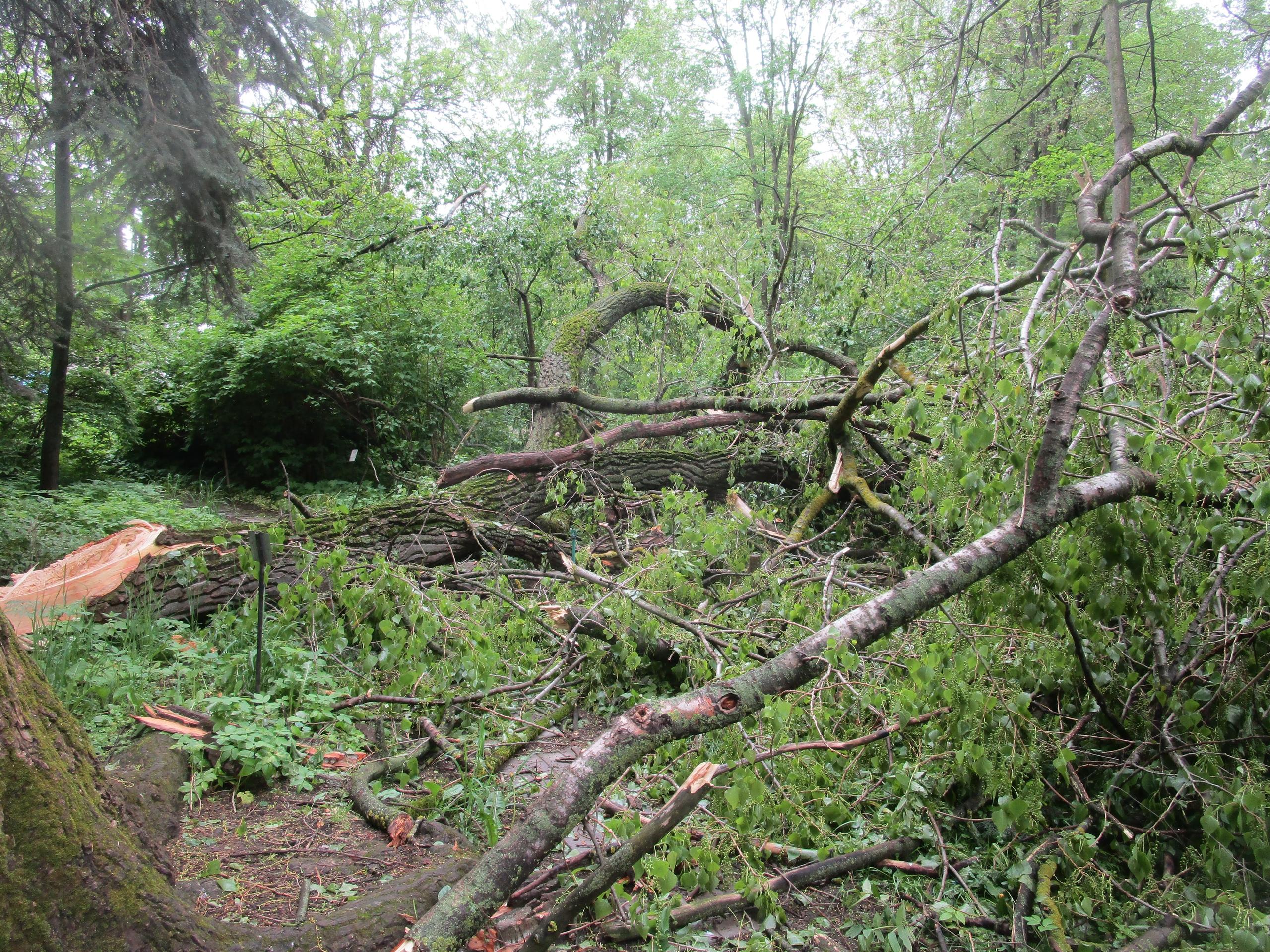 В Тверском ботаническом саду из-за урагана сломалось самое большое дерево