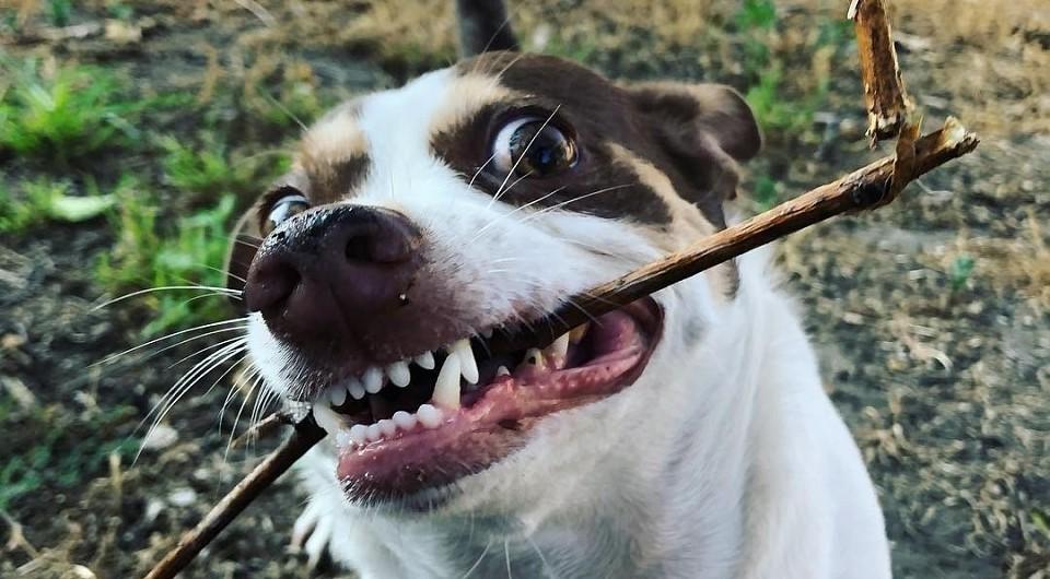 В Тверской области  у домашней собаки обнаружили бешенство