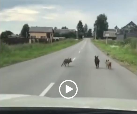 Семейство кабанов блокировало дорогу водителю в Тверской области