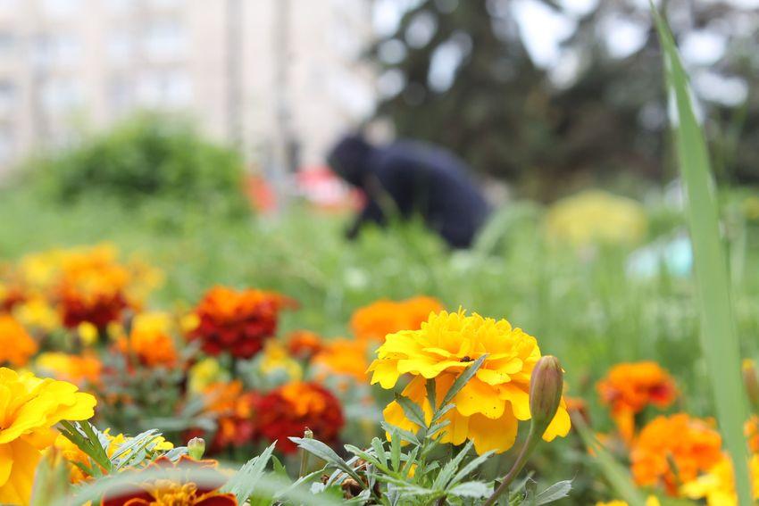 Цвети, наш город-сад: в Твери сажают цветы, пропалывают газоны и косят траву