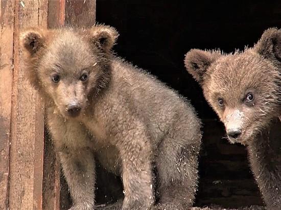 Тверские биологи показали новое видео из жизни медвежат-сирот