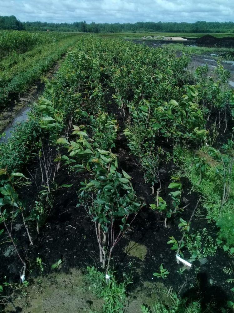 Специалисты Россельхознадзора провели обследование посадочного материала на наличие заболеваний