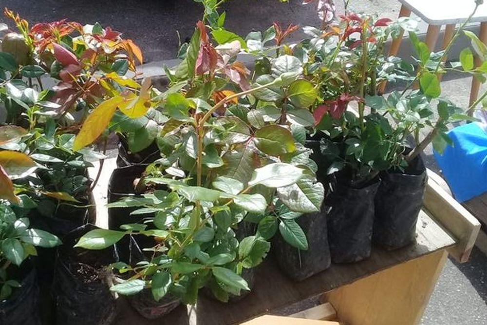 Саженцы плодовых деревьев и роз продавали без документов на рынке в Торжке
