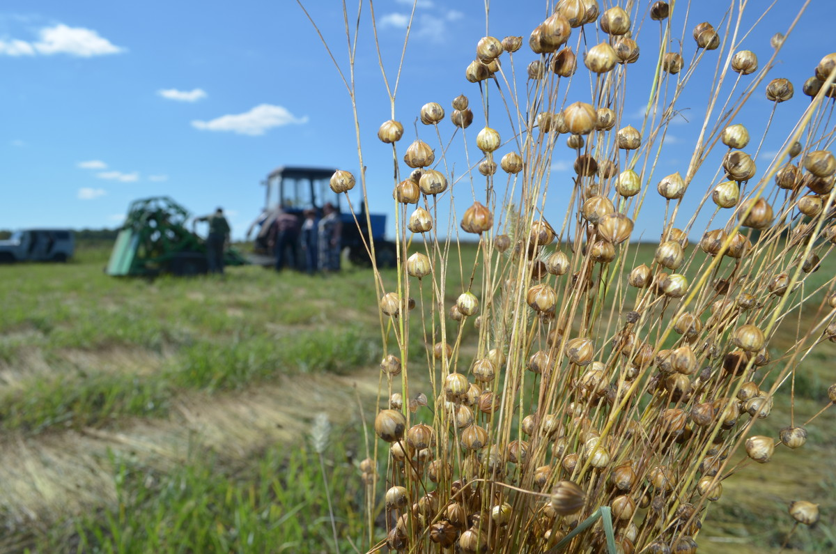 Льноводы Тверской области получат более 60 млн рублей на компенсацию затрат по производству и реализации льна