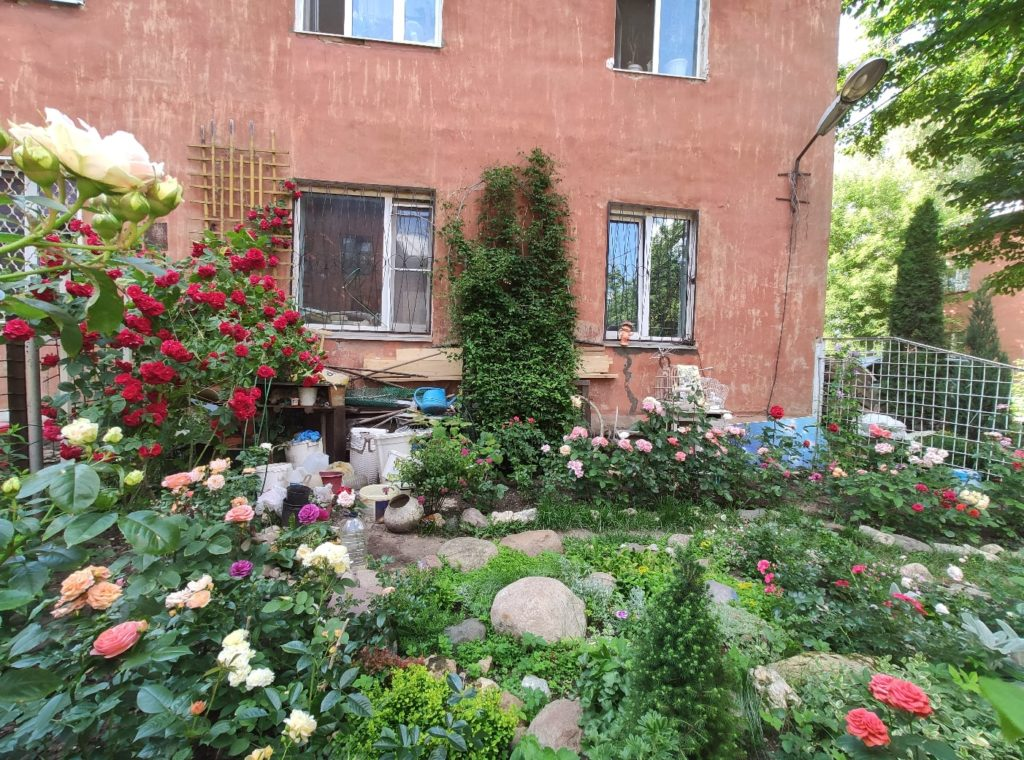 Шикарные розы выросли в одном из дворов Твери