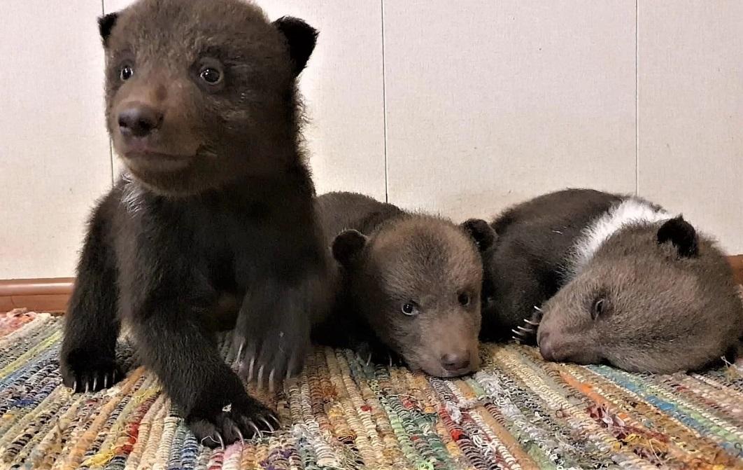 Тверские биологи благодарят неравнодушных за поддержку медвежат-сирот