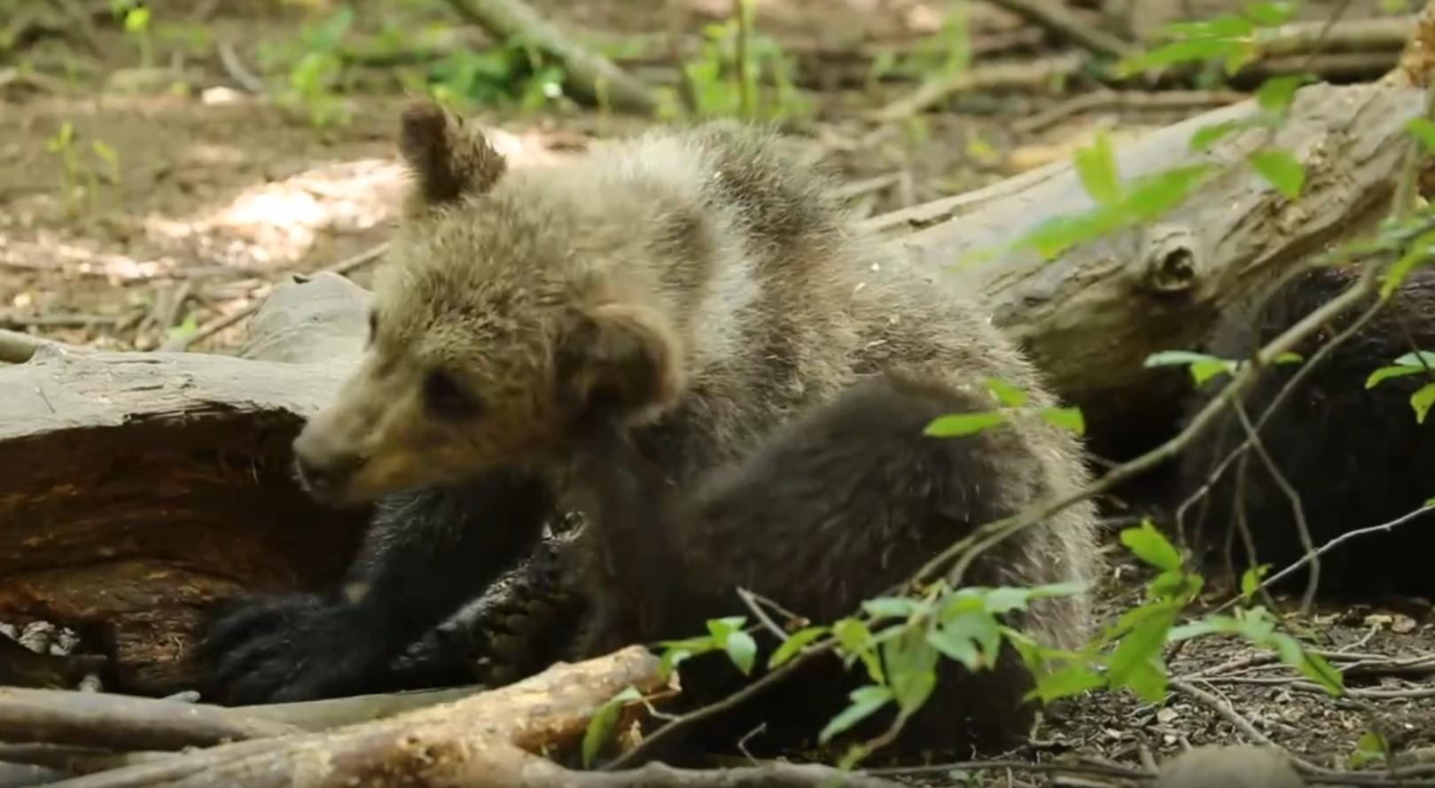 Медвежата в эфире: Центр спасения медвежат Тверской области опубликовал видео о жизни питомцев