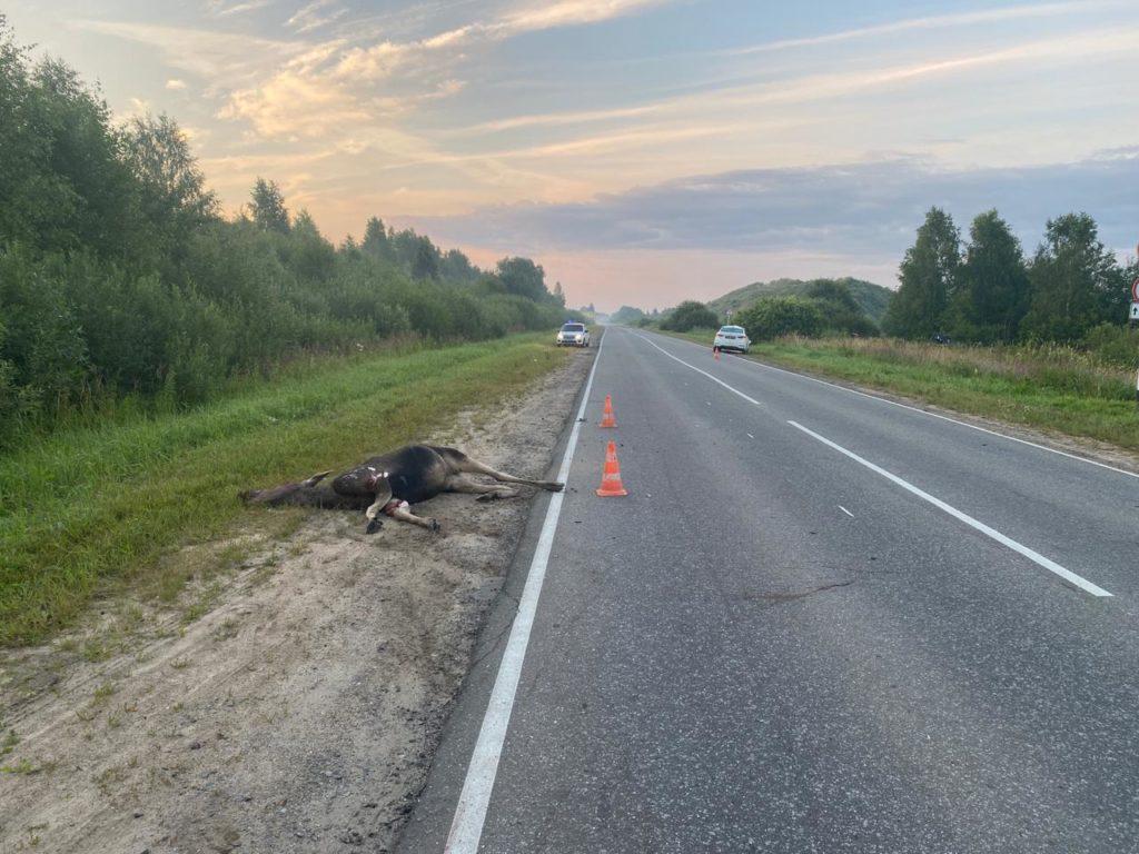 Лось попал под колеса автомобиля в Тверской области