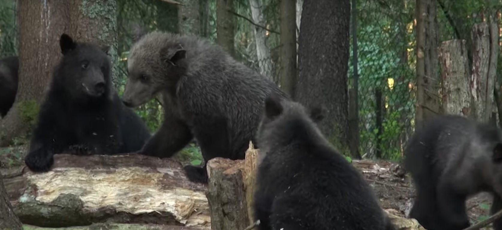 В сети появились новые кадры из жизни тверских медвежат-сирот