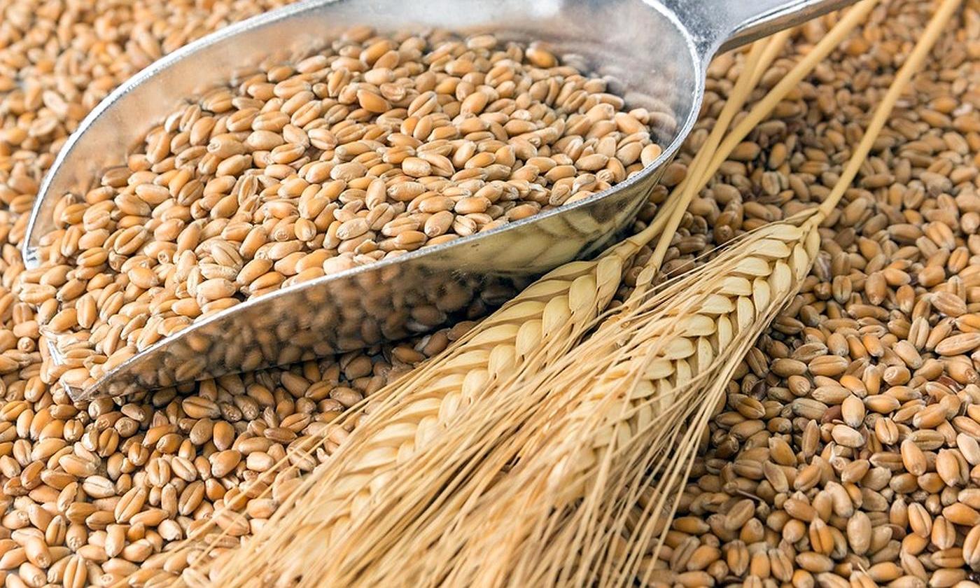Специалисты тверской ветлаборатории провели оценку безопасности образцов зерна