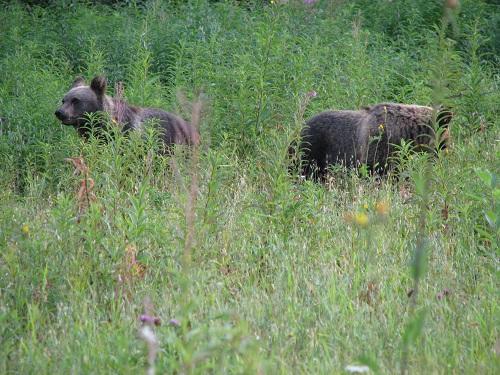 Экскурсии к диким медведям проводят в Тверской области