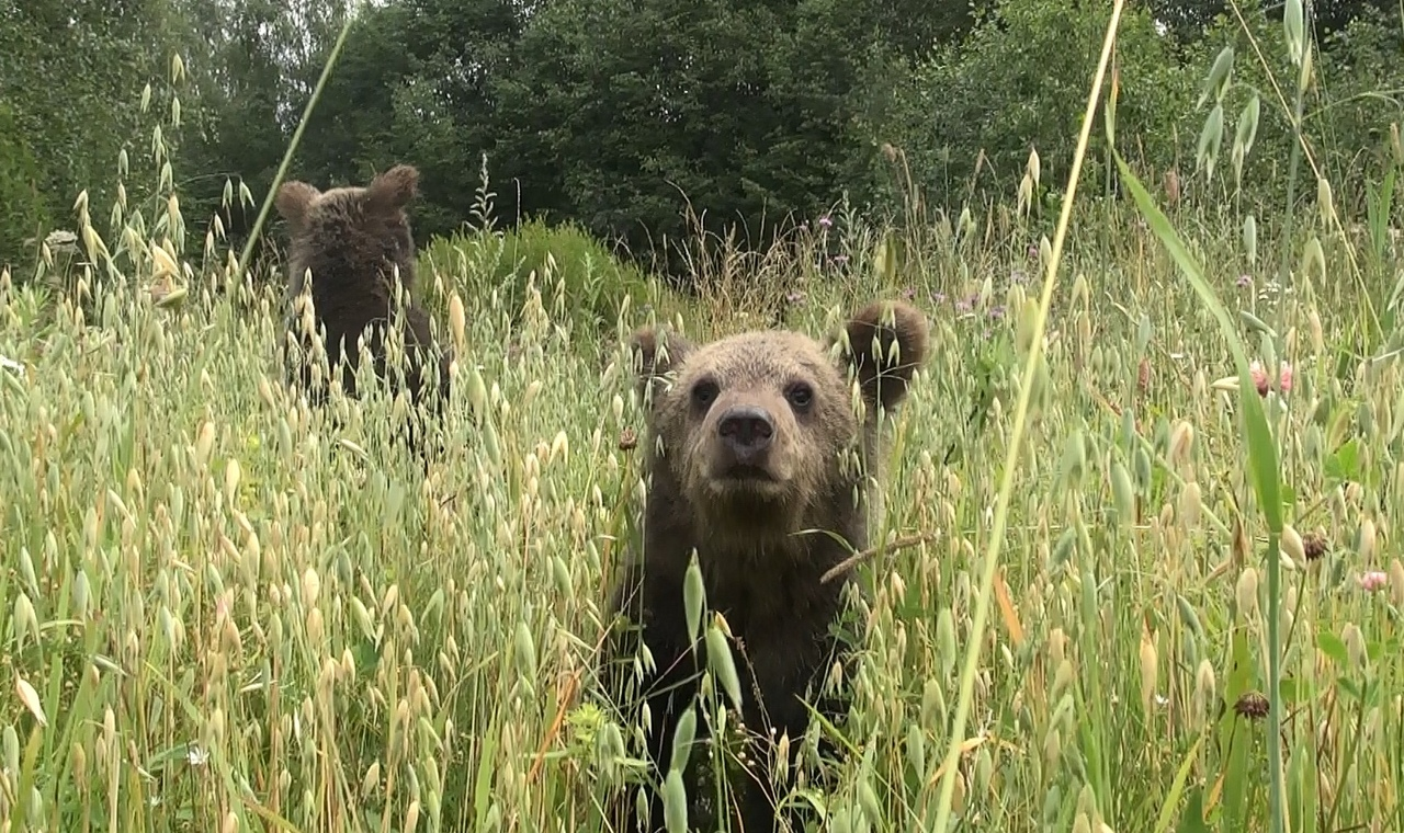 В Тверской области медвежата-сироты едят овес