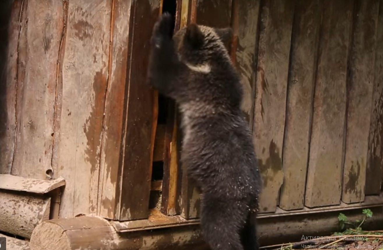 В Тверской области хулиганят медвежата-сироты