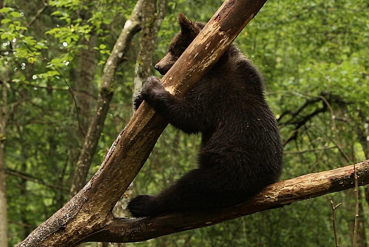 В Тверской области медвежата - акробаты лазают по деревьям