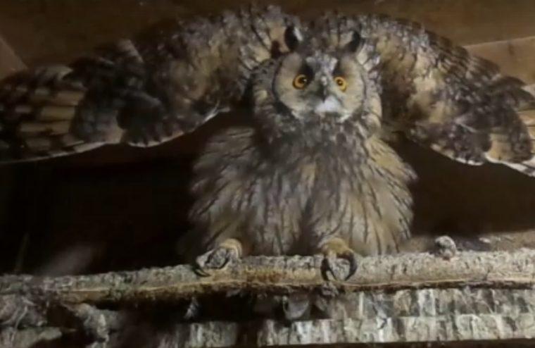 В тверском центре для диких животных выздоровела ушастая сова