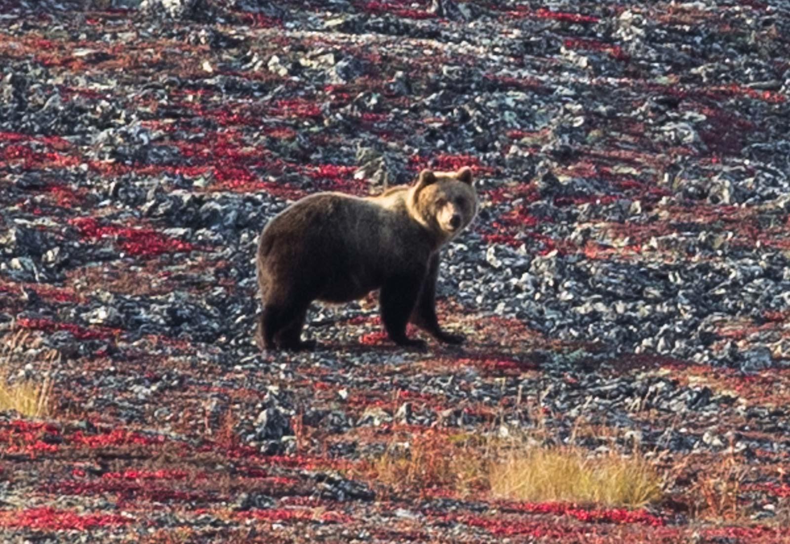 Чуть не споткнулся о него: тверской мотопутешественник рассказал о встрече с медведем на Чукотке