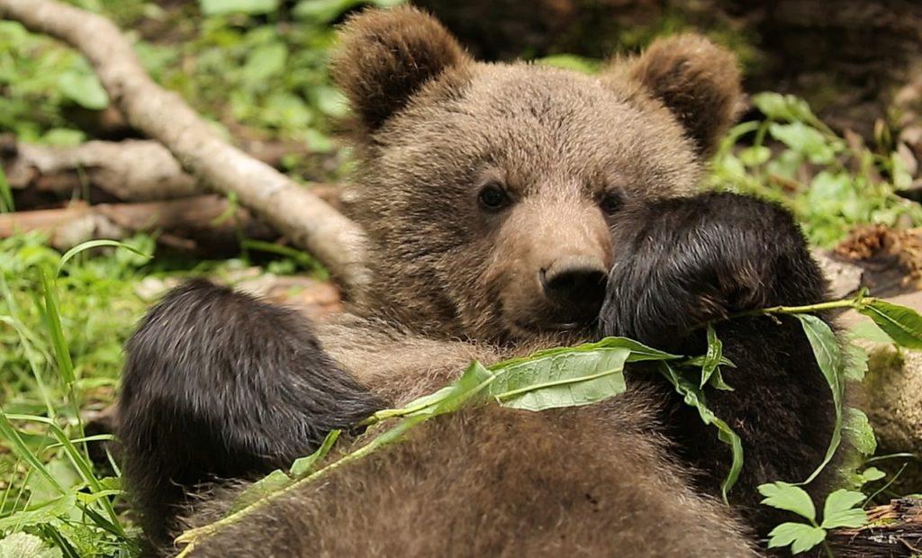 Тверские ученые рассказали о питании медвежат-сирот