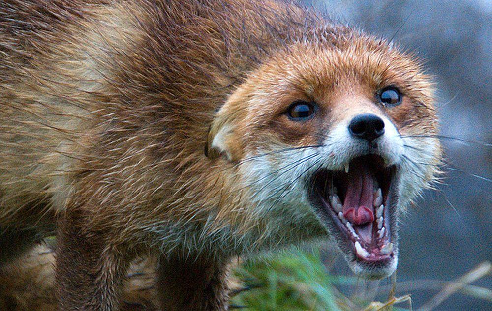 В Тверской области у двух диких животных обнаружено бешенство