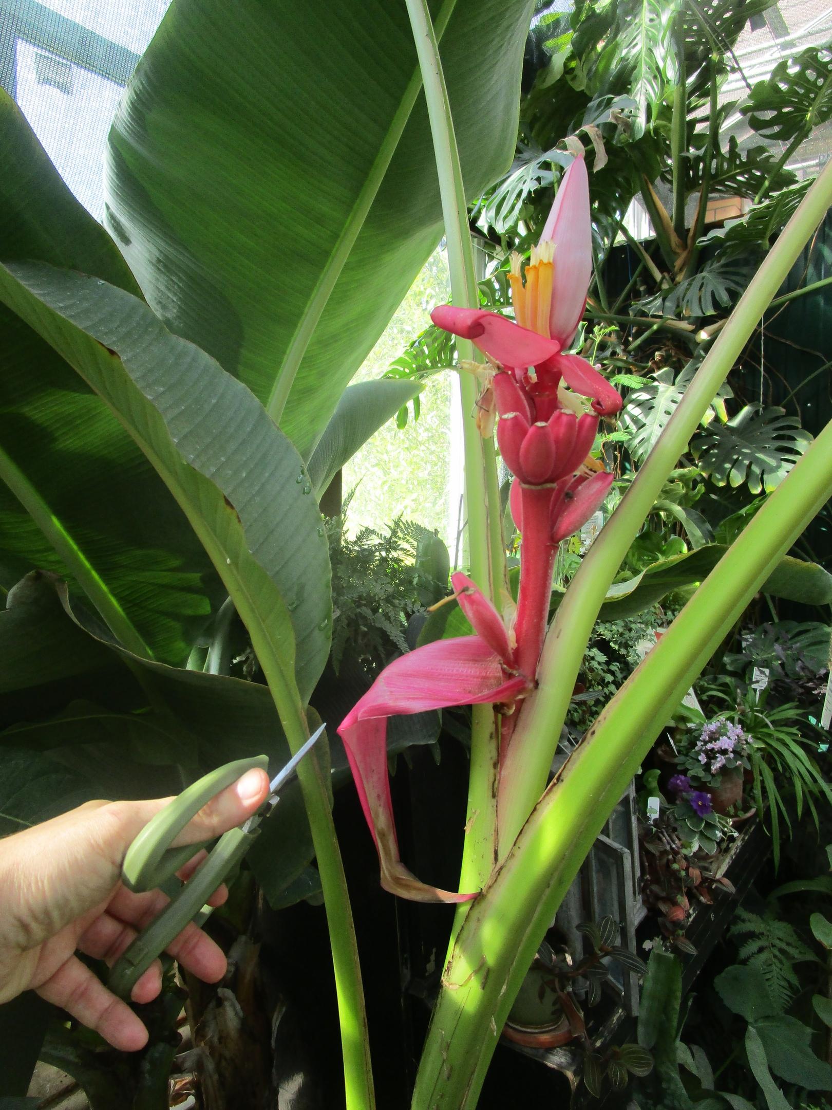 Ботанический сад Твери приглашает поесть бананов