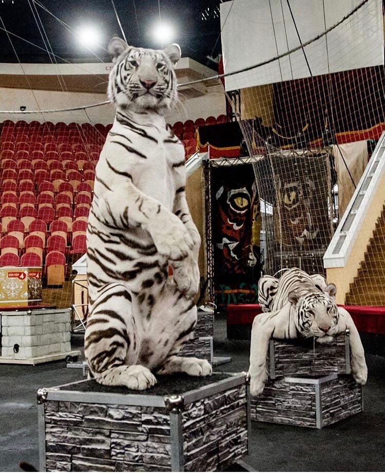 В тверском цирке полным ходом идут репетиции