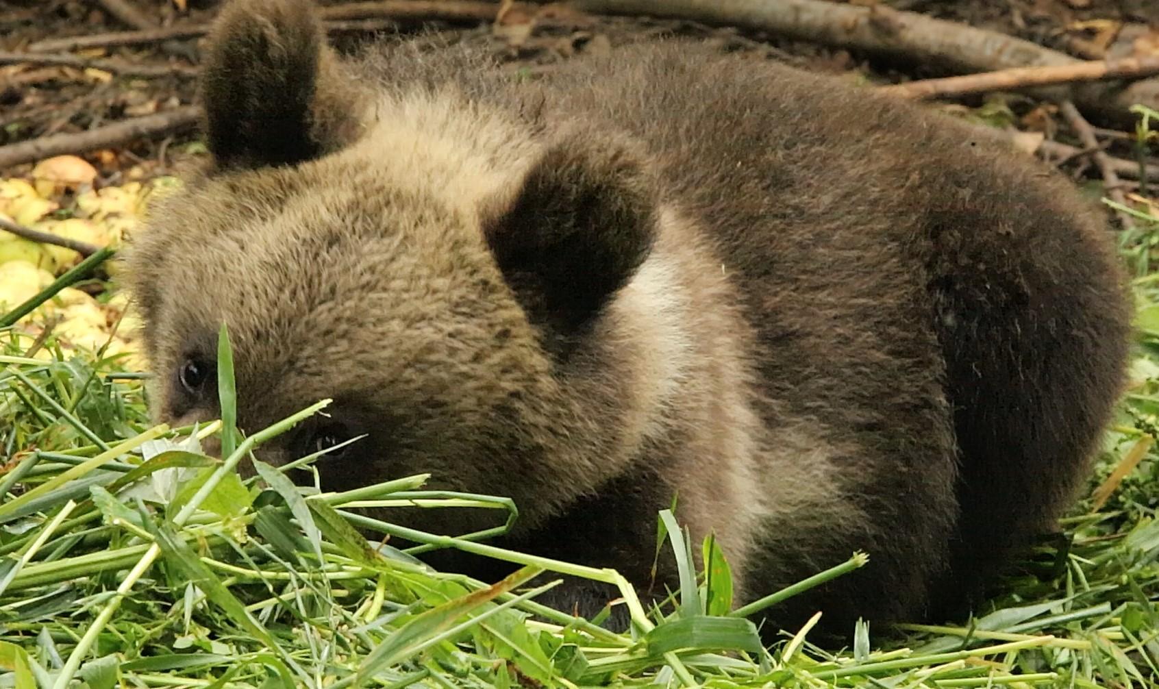Медвежата в Тверской области едят овес