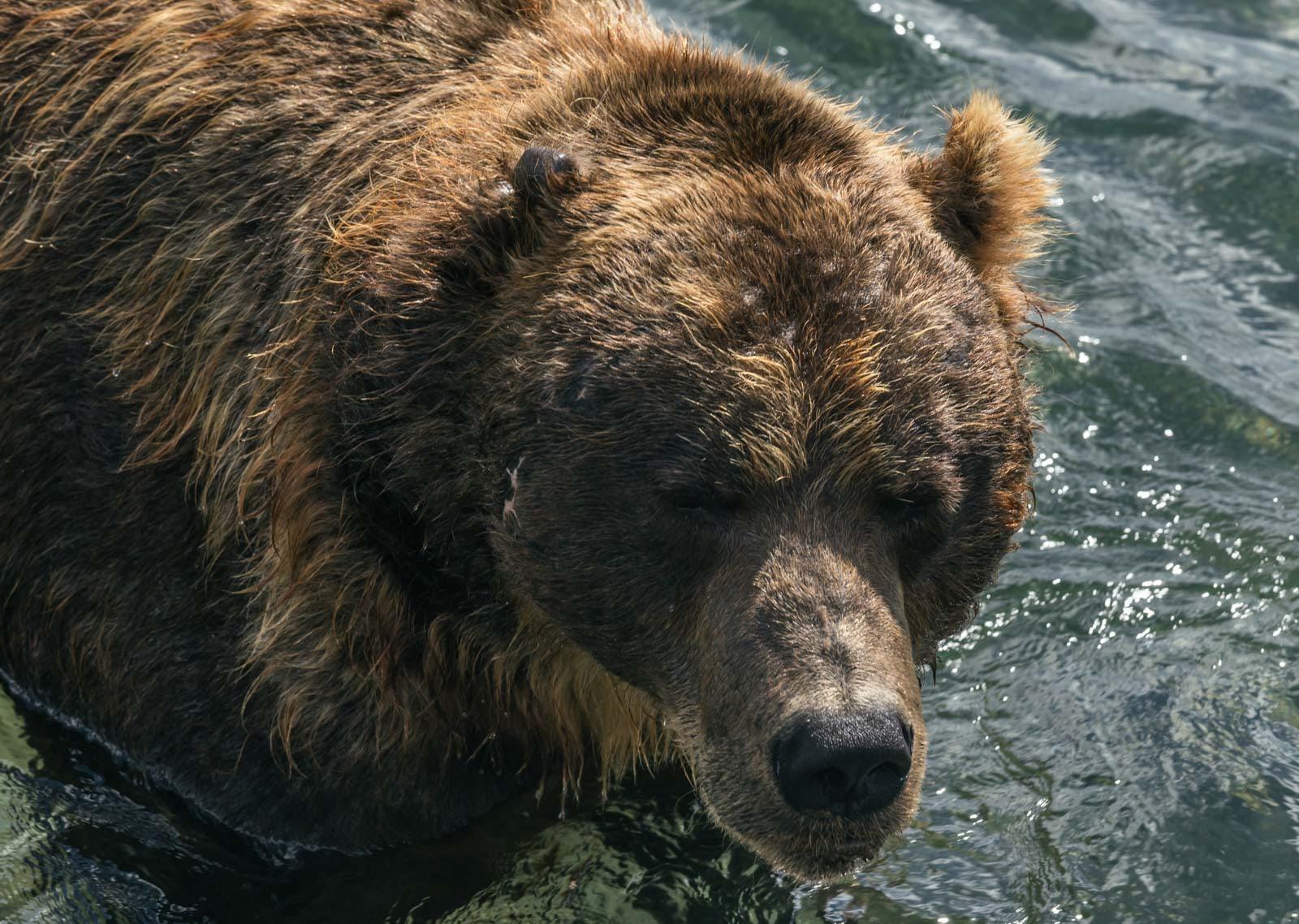 Съел не один десяток сородичей: тверской путешественник наткнулся на огромного медведя каннибала