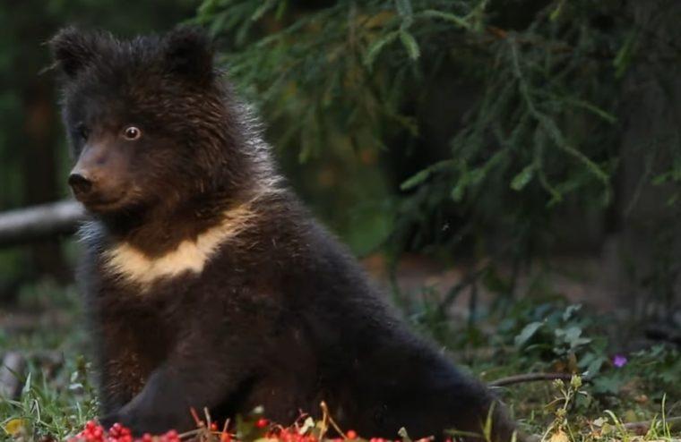 Медведица Пужа лакомится рябиной в Тверской области