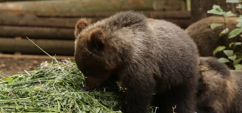 В Тверской области ученые-биологи показали видео из жизни медвежат