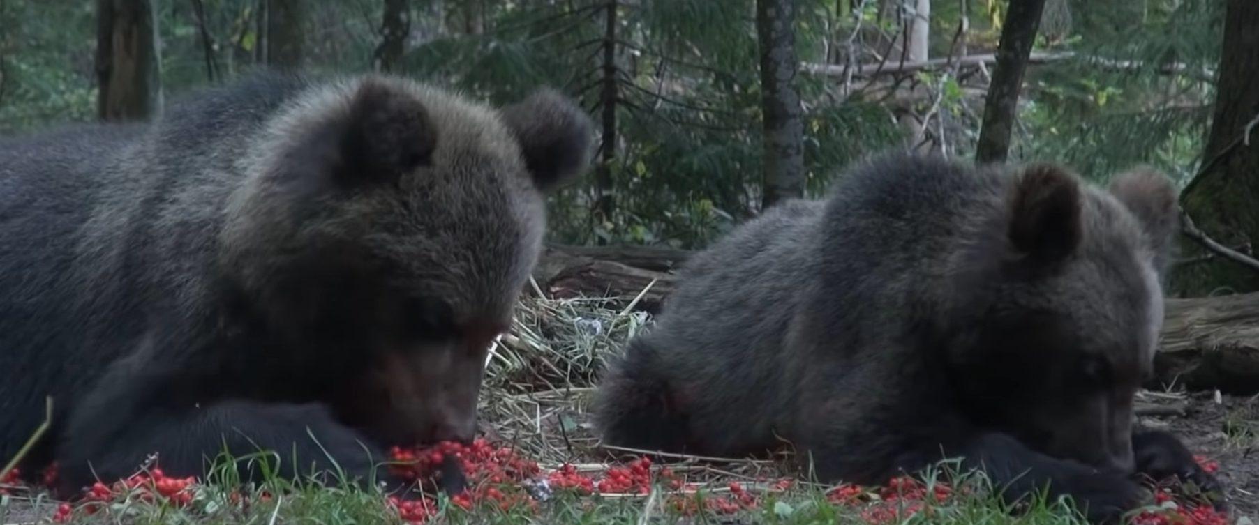 В Тверской области медвежата-сироты получают лакомства