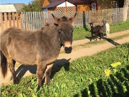 По поселку в Тверской области гуляет бедный ослик