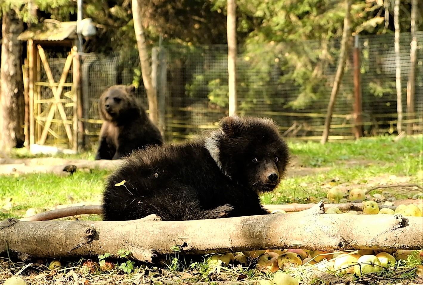 По яблоку на брата: на видео медвежата из Тверской области делят сладкую добычу